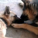 素敵な夫婦愛…出産を終えた母犬を優しくいたわる父犬の愛情溢れる姿に感動!