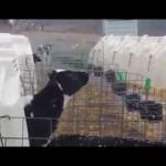 爆笑!初めて雪を見た牛、長~い舌を出して雪の味見を試みるw