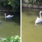 明らかに恋人同士の再会…食中毒で保護した白鳥を返したら、感動的な展開が