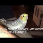 飼い主の気を引くためにiPhoneの着信音をマネするインコが可愛い!