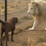 種別を超えた愛情!レディーの犬に対する紳士なホワイトライオンの行動に胸キュン