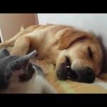 「遊んで~」寝ているところを子猫にガブガブされちゃうゴールデンの優しい対応