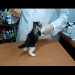注射を打とうとする獣医さんに対し、怯む事なく勇敢に立ち向かう子猫が可愛い^^
